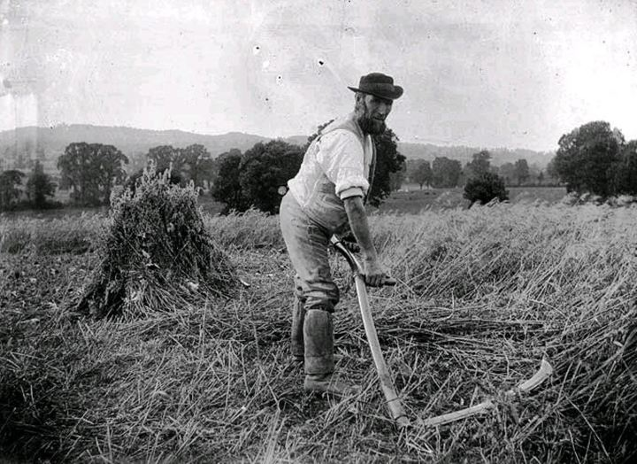 Agricultural labourer working with a scythe circa 1900